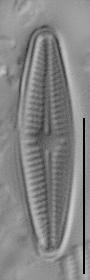 Achnanthidium eutrophilum LM2