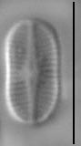 Psammothidium didymum LM7