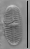 Psammothidium curtissimum LM1