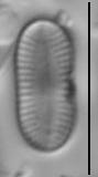 Psammothidium didymum LM5