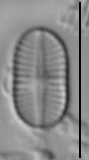 Psammothidium didymum LM4