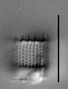 Aulacoseira nivaloides LM5