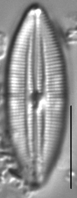 Mastogloia pumila LM5