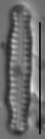 Chamaepinnularia soehrensis LM6