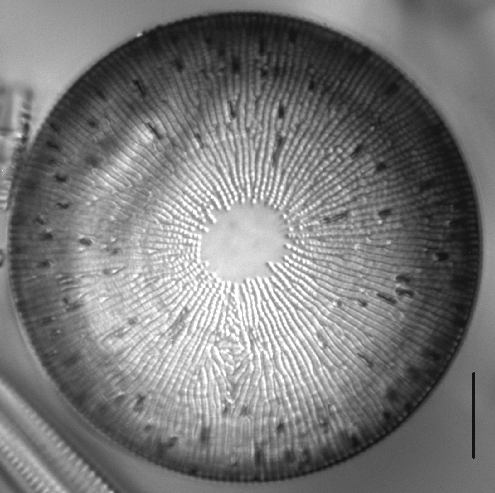 Melosira undulata LM6