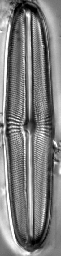 Muelleria agnellus LM1