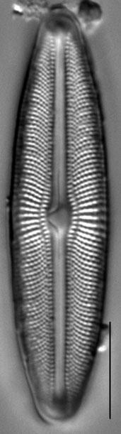 Muelleria agnellus LM2