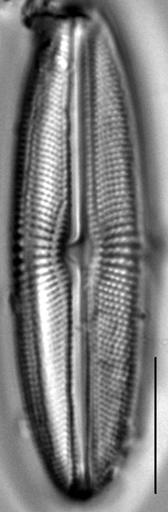 Muelleria agnellus LM4