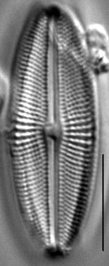 Muelleria agnellus LM7