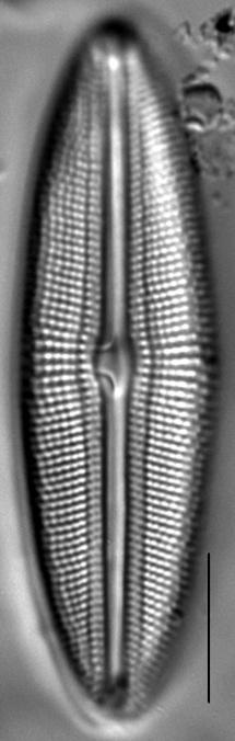 Muelleria spauldingiae LM2