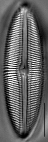 Muelleria spauldingiae LM5