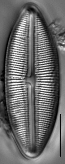 Muelleria spauldingiae LM6