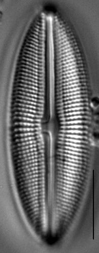 Muelleria spauldingiae LM7
