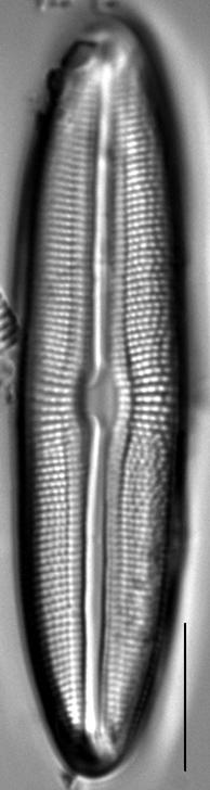 Muelleria tetonensis LM1