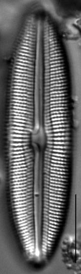 Muelleria tetonensis LM5