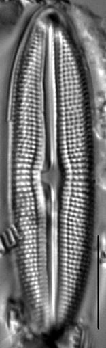 Muelleria tetonensis LM7