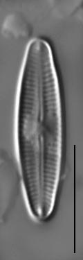 Nupela subrostrata LM6