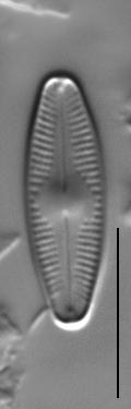 Nupela subrostrata LM1