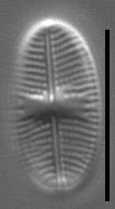 Psammothidium pennsylvanicum LM6