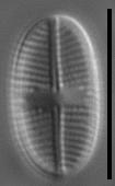 Psammothidium pennsylvanicum LM4