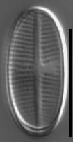 Psammothidium pennsylvanicum LM1