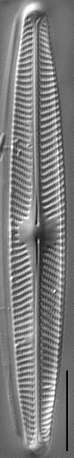 Navicula angusta LM3