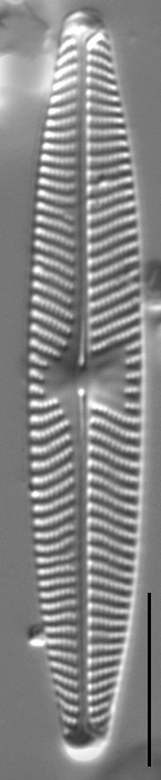 Navicula angusta LM2