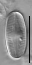 Psammothidium scoticum LM2