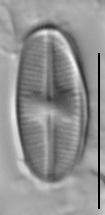 Psammothidium scoticum LM3