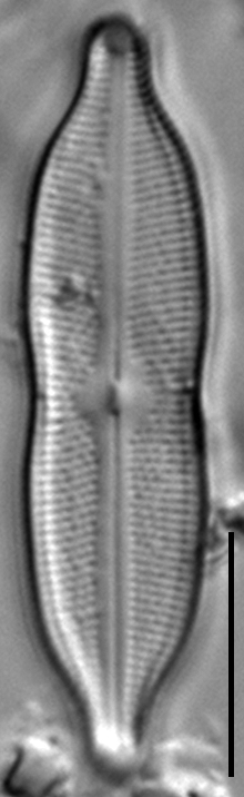 Neidiomorpha binodiformis LM7