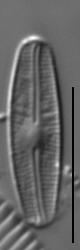 Nupela vitiosa LM7