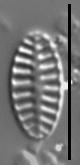 Platessa bahlsii LM7