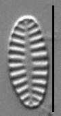 Platessa bahlsii LM6