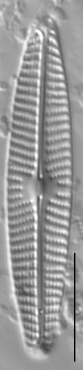 Navicula libonensis LM3
