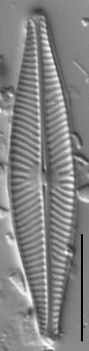 Navicula cryptocephala LM4