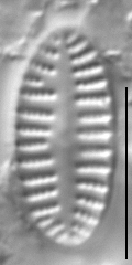 Karayevia oblongella LM5