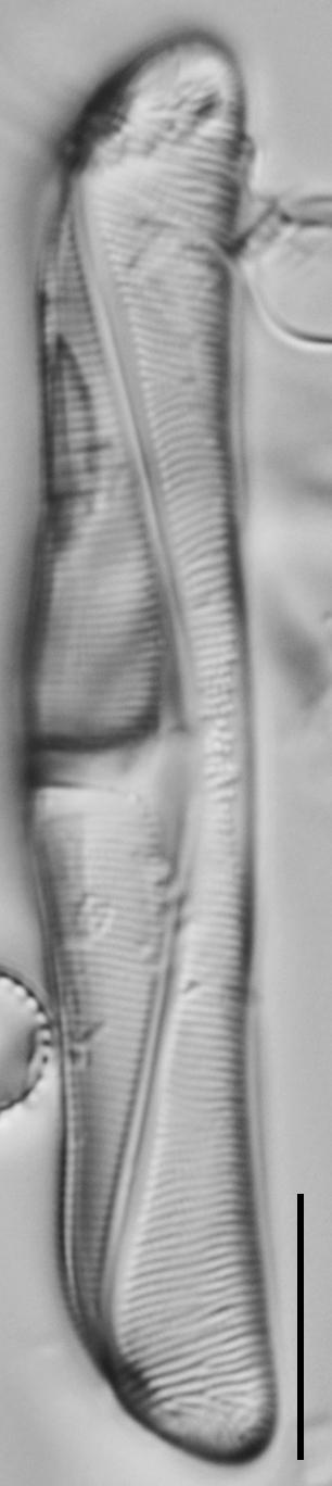 Amphora delphinea minor LM7