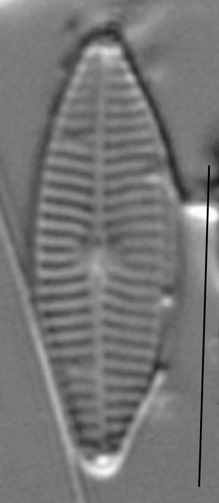 Navicula caterva LM1