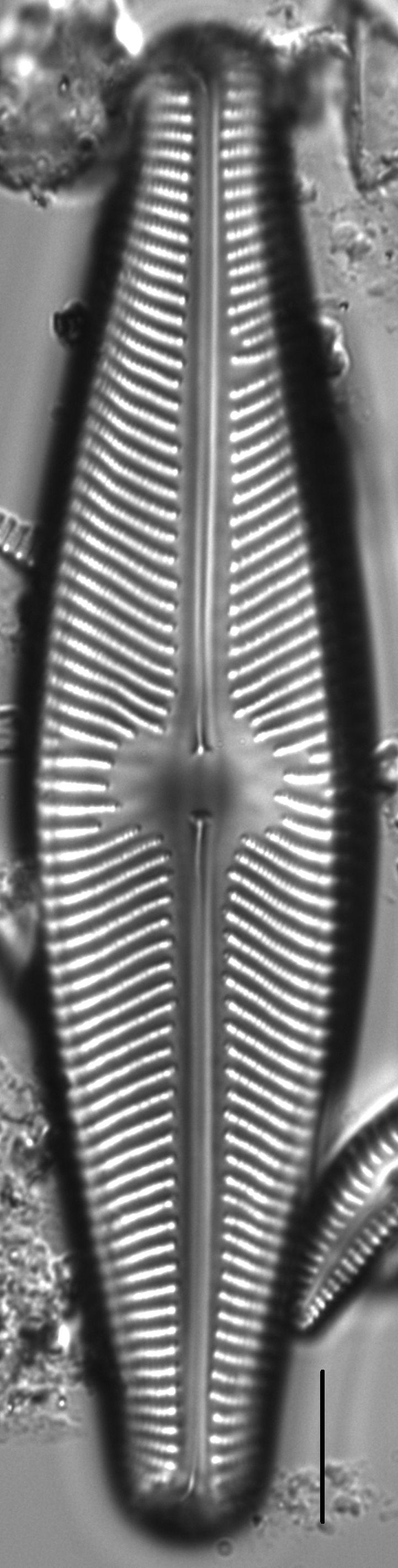 Navicula aurora LM4