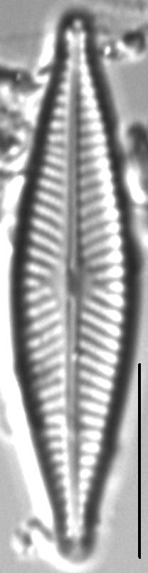 Navicula cryptofallax LM3