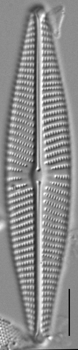 Navicula Peregrinopsis LM2