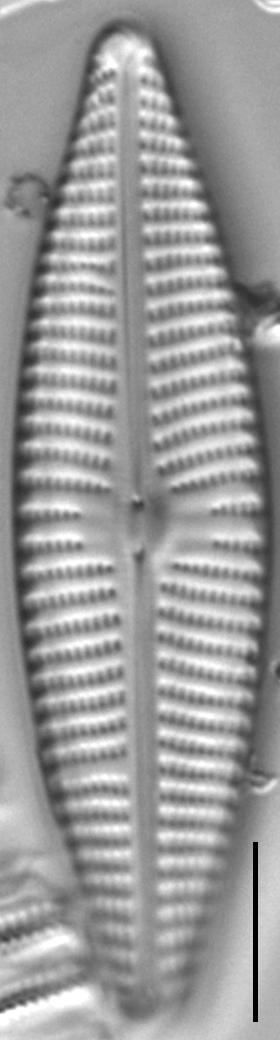 Navicula Peregrinopsis LM3