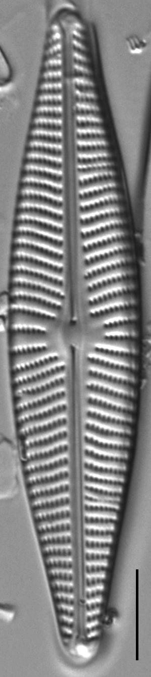 Navicula Peregrinopsis LM4