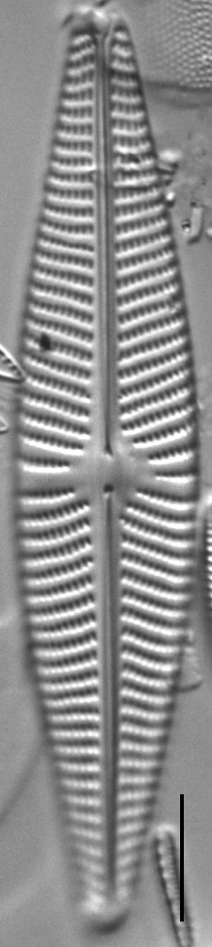Navicula Peregrinopsis LM5