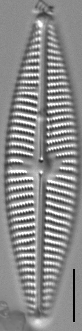 Navicula Peregrinopsis LM7