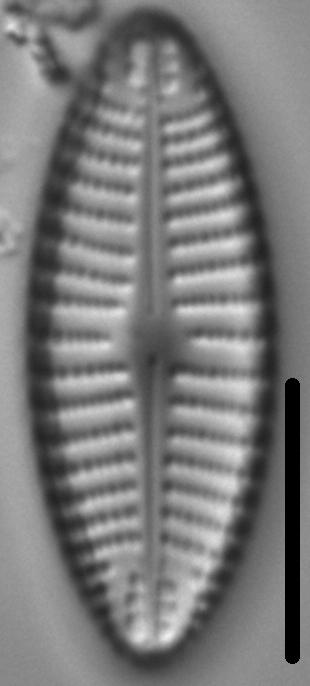 Navicula cascadensis LM1