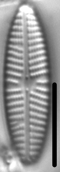 Navicula eidrigiana LM1