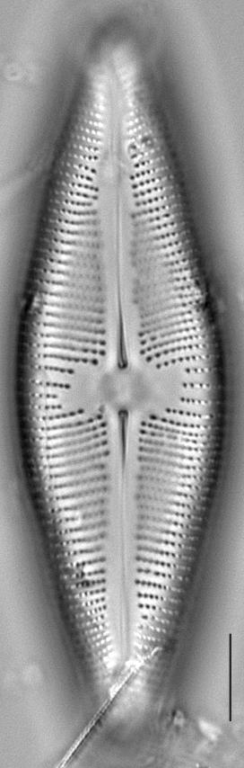 Navicula Nunivakiana  Gc8232 B 12