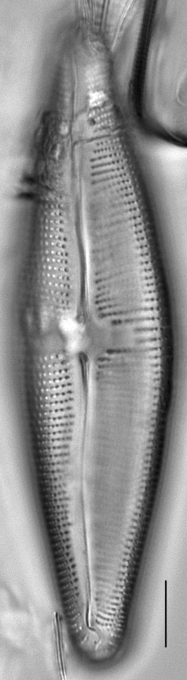 Navicula nunivakiana LM1