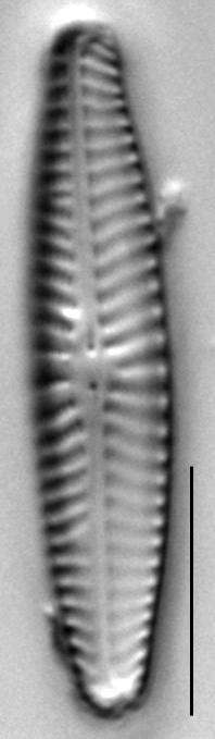 Navicula Selbigiana 453301 H